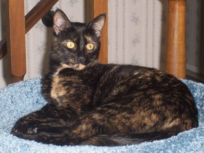 tortoiseshell-cat-allegra