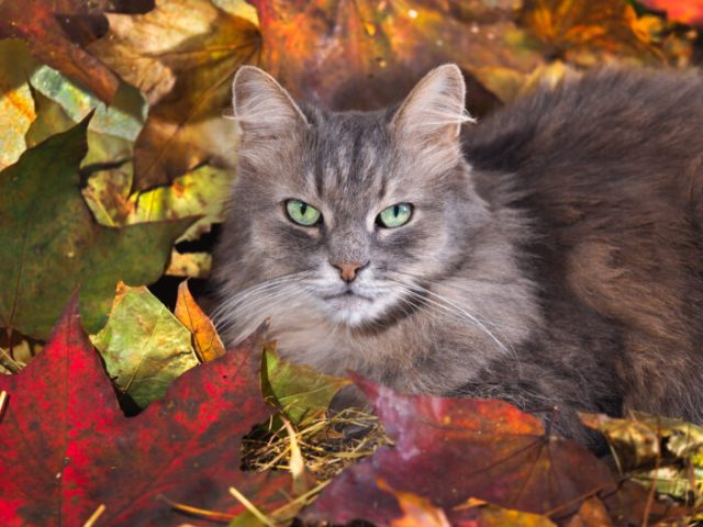 cat-fall-leaves-thanksgiving