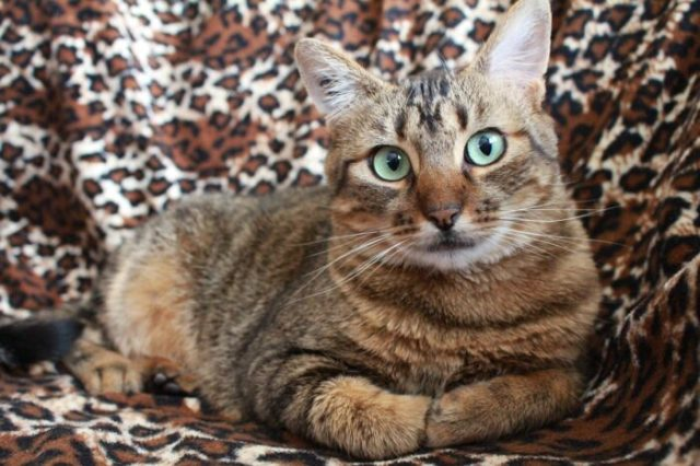 cat-arthritis-natural-remedies