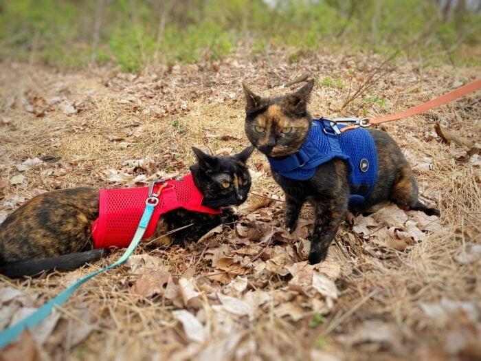 tortoiseshell-cats-harness-leash