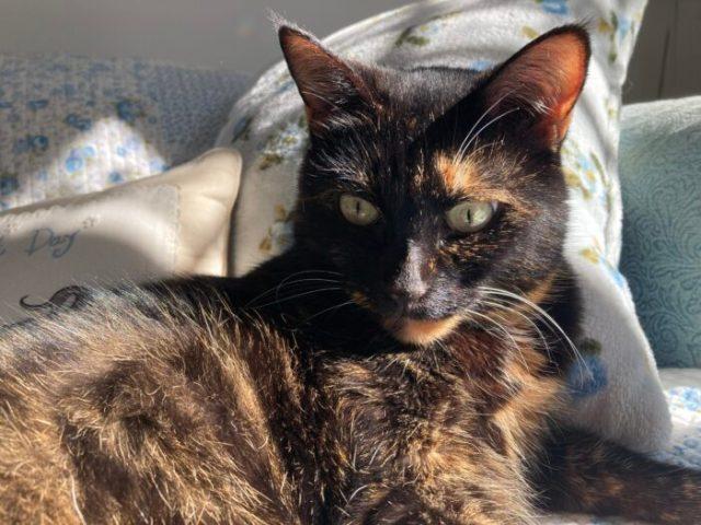 tortoiseshell-cat-sun