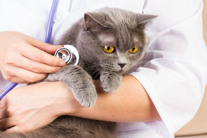 cat-vet-stethoscope