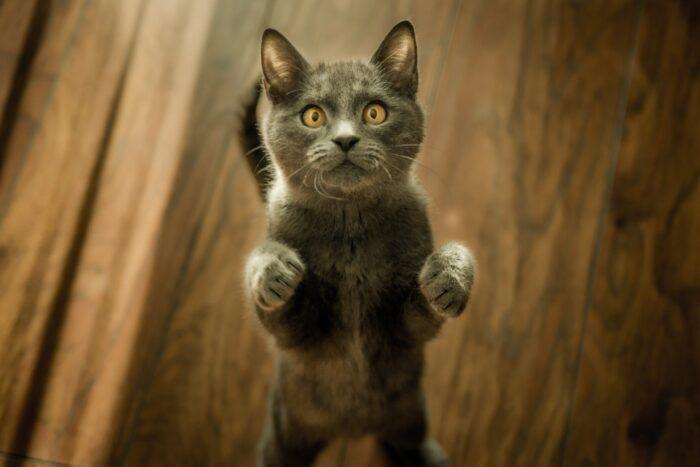 begging-cat
