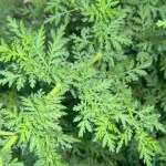 This Little Known Chinese Herb Kills 12,000 Cancer Cells For Every Healthy Cell