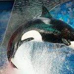 Freeing a Killer Whale Held Captive for 43 Years