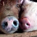 Working to Protect Farm Animals