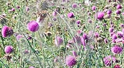 Milk Thistle Promising for Colorectal Cancer Prevention