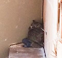 owl cln
