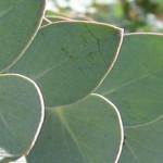 Eucalyptus: Essential Oil Extraordinaire
