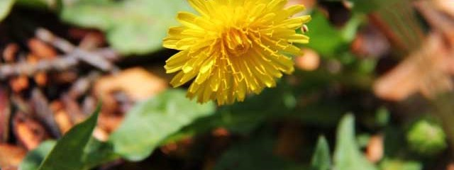 Dandelion Root is Shaping Up to Be Quite the Cancer Fighter