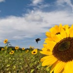 Victory: Judge Deprives Monsanto of GM Planting Permit in Mexico, Protects the Bees