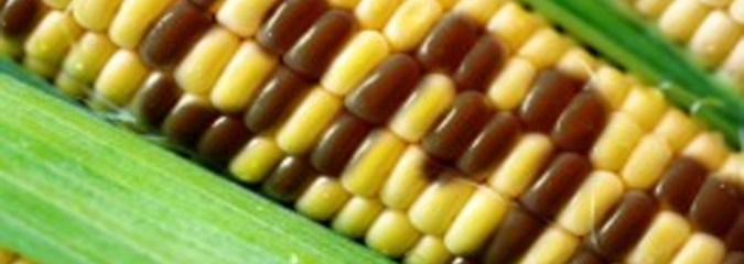 Birth Defects Increase in Hawaii After Being Chosen For GM Corn Testing Grounds