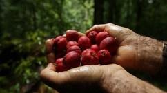 blush berries