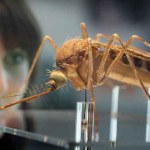 Unapproved GM Mosquitoes Being Shipped to US for Release NOW
