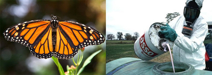 Monarch Butterfly & Monsanto herbicide that is a significant factor in the declining population