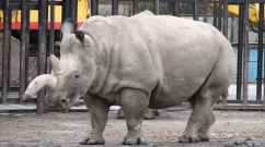As of December 2014, there are only five northern white rhinos remaining on the planet, and only one is male.
