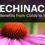 9 Amazing Benefits of Echinacea: From Fighting Colds to Cancer