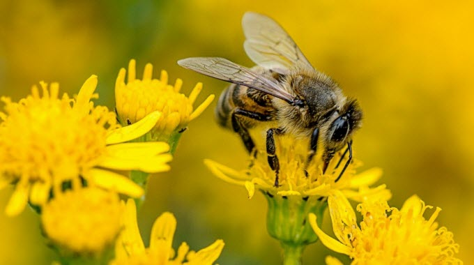 Experts say that in order for bees and pollinators to survive and thrive, President Obama must order an immediate ban on neonicotinoids. (Photo: CrashSunRay2013/cc/flickr)