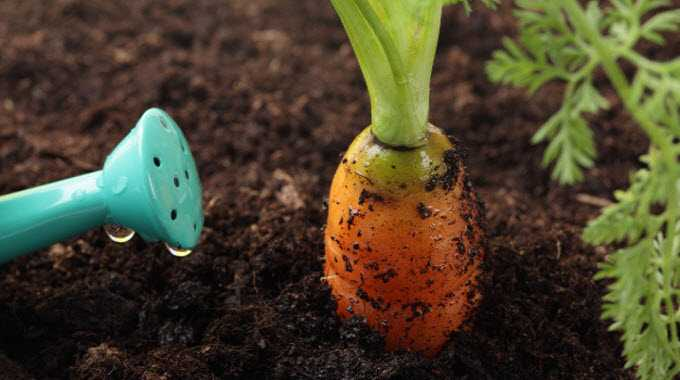 garden_Carrot_nature_water-compressed