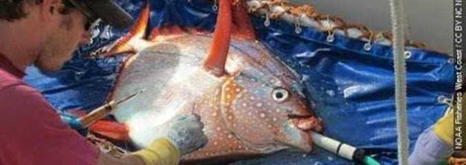 Meet the Opah, the First Known Warm-Blooded Fish