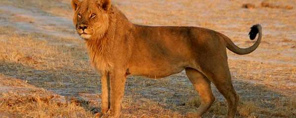 What Nomad Lions Can Teach Us About Growing Through Life