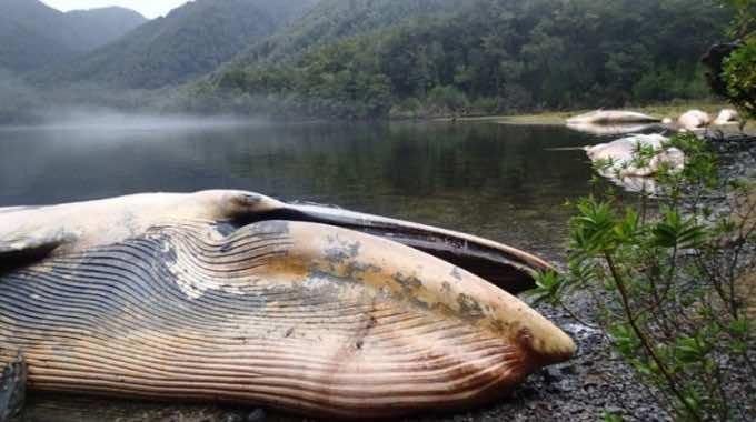 dead SEI whale, Chile