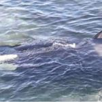 [Watch] Incredible Rescue Of Stranded Killer Whale By Compassionate Humans