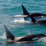 SeaWorld Finally Ends its Orca Breeding Program