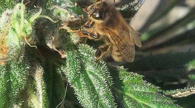 Image result for bees on cannabis flowers
