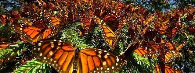 Watch the Stunning Beauty Of Monarch Butterflies Filling The Sky (Video)