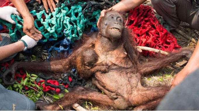 dying orangutan-compressed