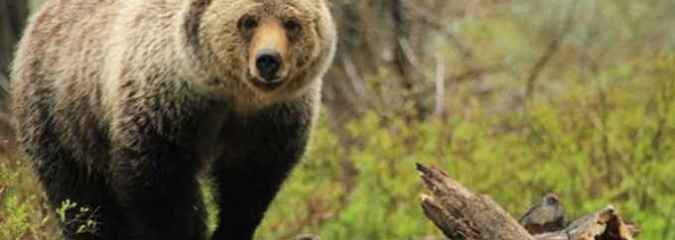Yellowstone Grizzly Bears Lose Federal Protection After 42 Years