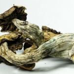 California May Become First State to Legalize 'Magic Mushrooms'