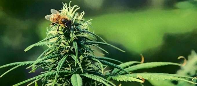 Study Shows That Bees Love Hemp, Which Is Wonderful News for the Environment and The World