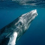 Humpback Whales Have Made A Stunning Recovery After Coming Close to Extinction