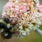 "Bumblebees Face ""Mass Extinction"" Due to Climate Chaos, Scientists Warn"