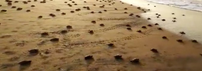 Stunning Video Shows When TWENTY MILLION Rare Baby Turtles Crawl To Sea for First Time
