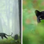 Incredible Photos Of A Rare Black Panther Roaming In The Jungles Of India