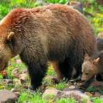 Federal Appeals Court Upholds Endangered Species Protections for Yellowstone Grizzlies