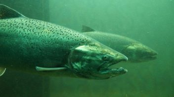 Salmon Spawning for the First Time in 80 Years in the Upper Columbia River