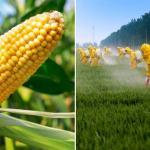 Mexico Decrees Ban on GMO Corn and Monsanto's Glyphosate Weed Killer
