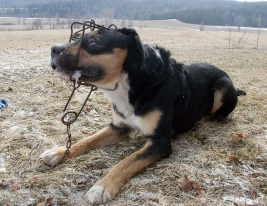 Dog caught in steel leghold trap