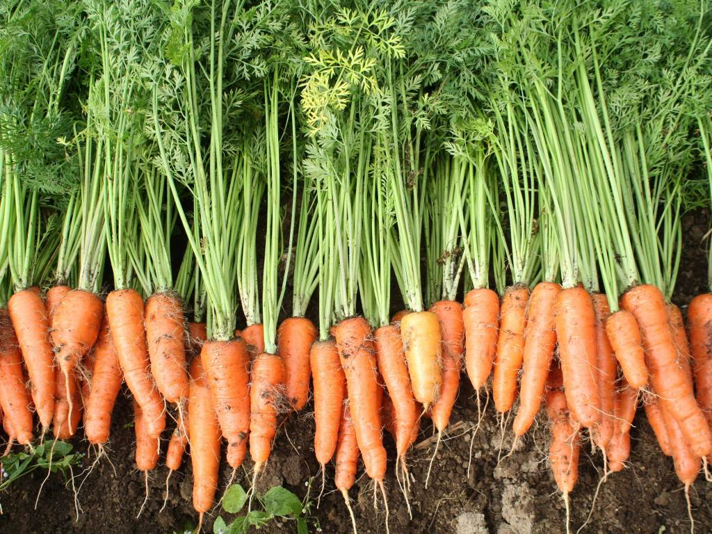 organic-carrots
