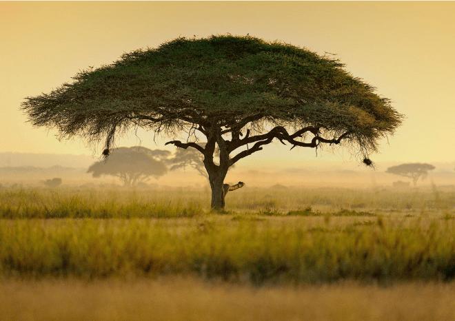 Acacia Tree in Kenya