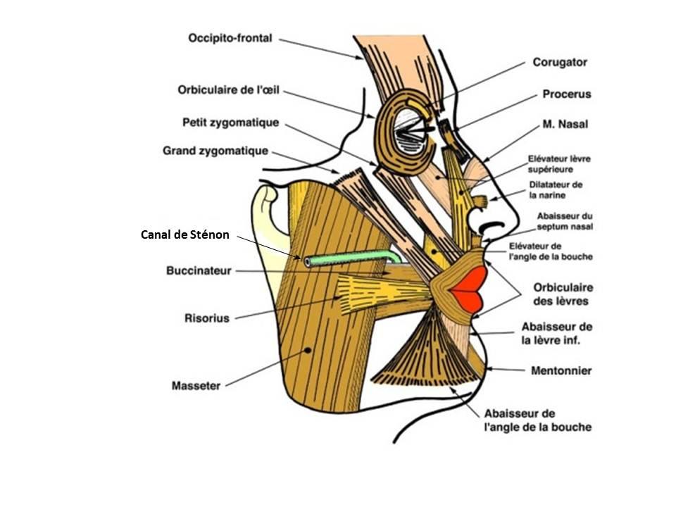 Anatomie des muscles des l vres et des joues conseil for Interieur de la bouche