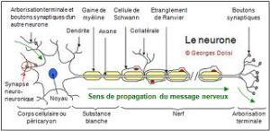 Neurone (médicalorama.com)