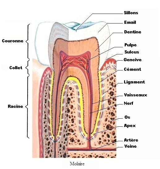Anatomie-dent1b