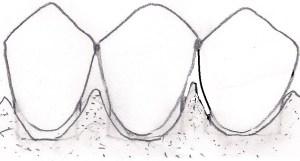 Anatomie de l'os alvéolaire.