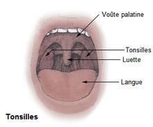Tonsilles ou amydales( Wikipédia).