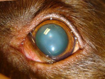 cataracte du chien et du chat